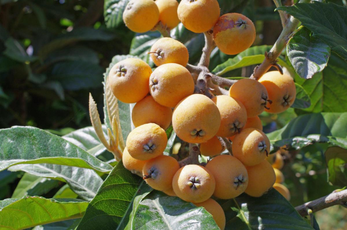придумывает плоды растущие в сочи с фото приезжали кипр свадьбу