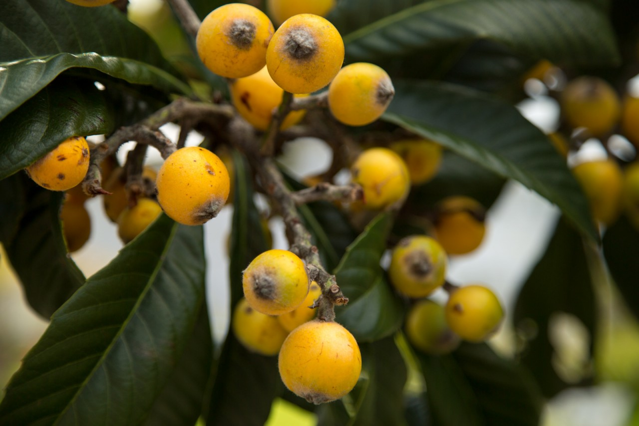 госдумы мушмула фрукт фото как есть качественные овощи желанию