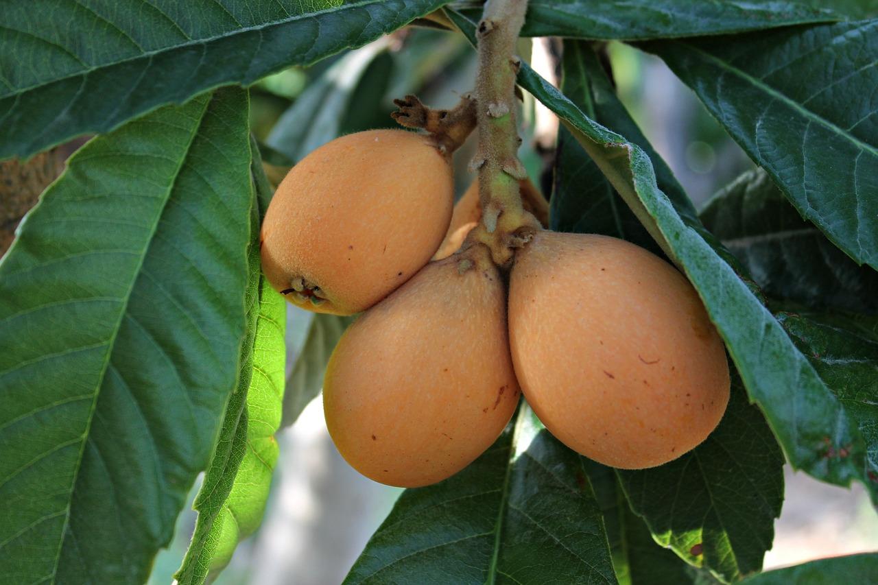 плоды растущие в сочи с фото достоинству
