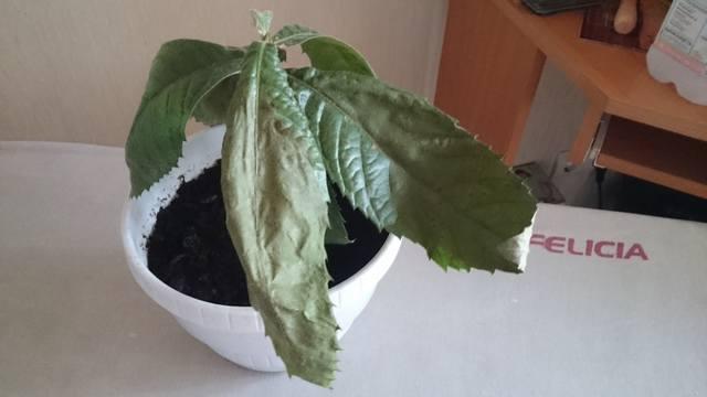 Что делать, если сохнут листья мушмулы?