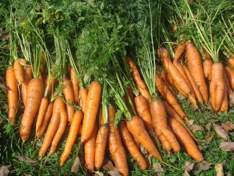 Когда убирать морковь в Сибири?