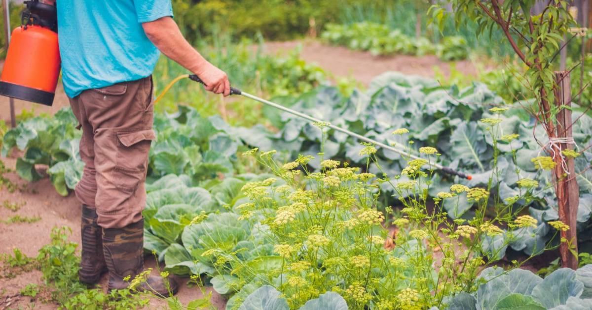 Гусеницы на капусте, как избавиться?