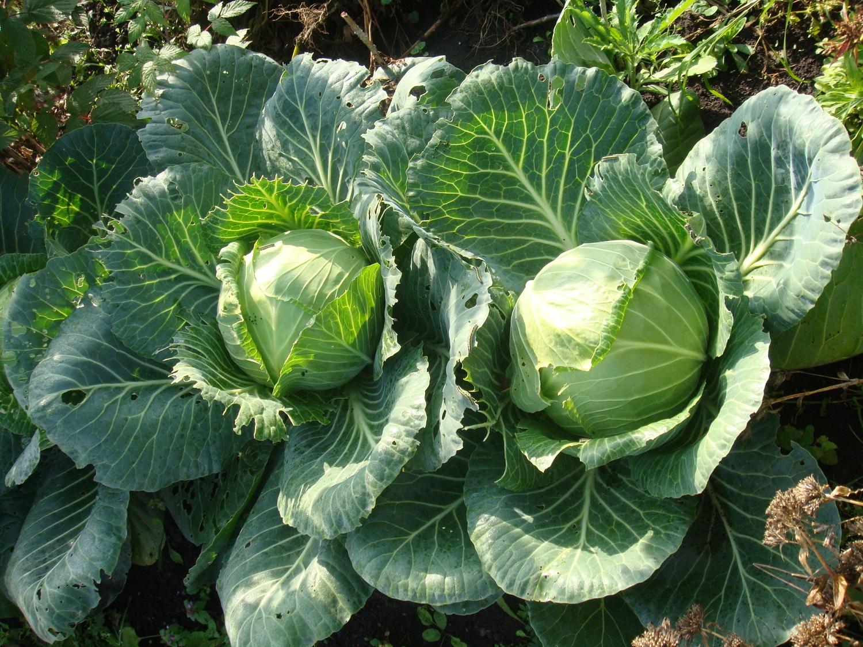 Когда можно собирать капусту осенью: до или после холодов?