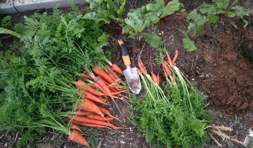 Когда убирают морковь в Средней полосе?